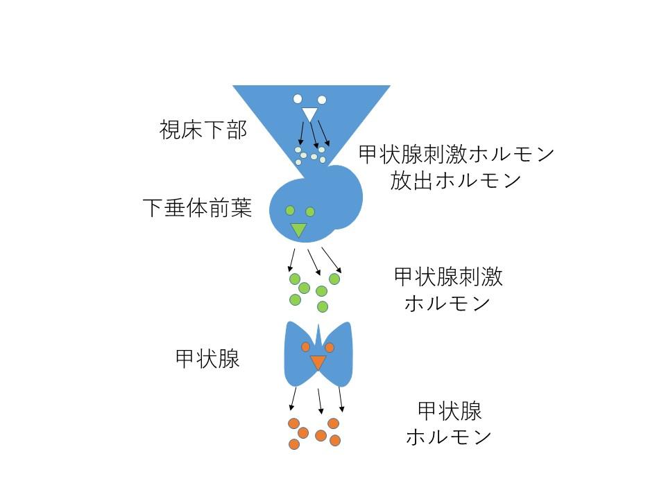 方 ホルモン 下 覚え 前葉 垂体